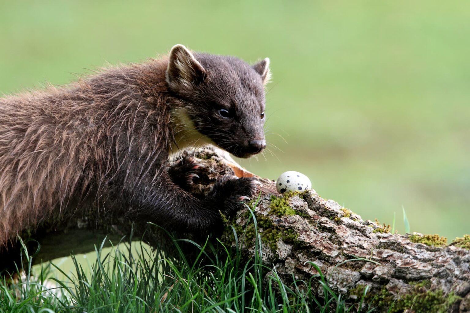 pine-marten-early-morning-martes-martes-vertebrates-marten-martes-mammals